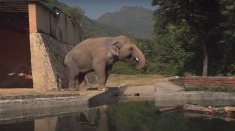 world's Lonely Kavaan Elephant